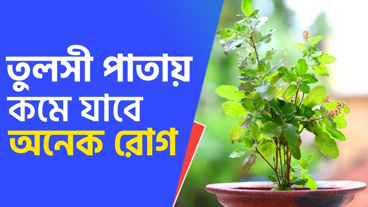 রোজ তুলসী পাতা খেলে কি কি উপকারিতা পাবেন   Tulsi Patar Upokarita Bangla