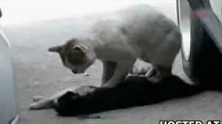 朋友被汽車撞死 小貓用心外壓搶救 可惜救不了 t t 足本
