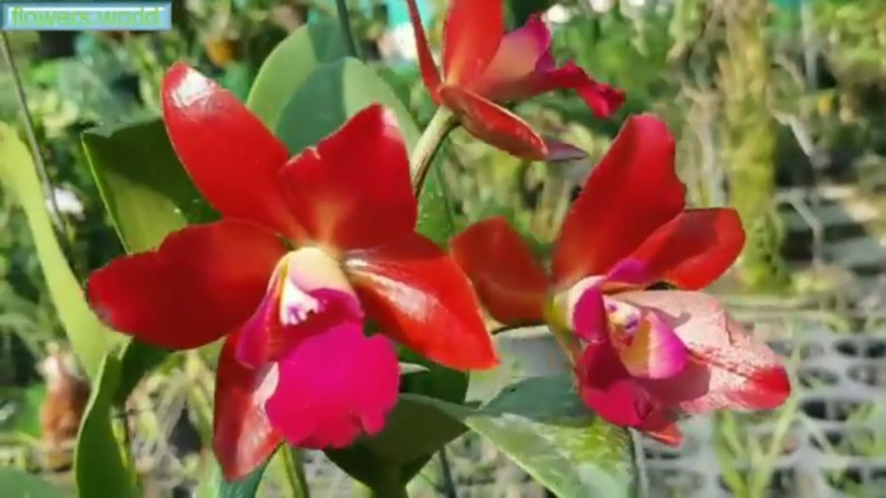 Beautiful orchid- Wonderful colors of Cattleya orchids. - YouTube