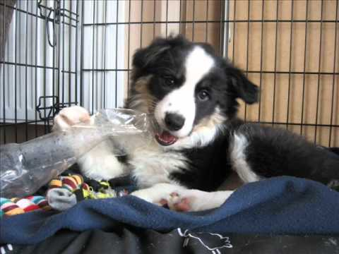 2 months old border collie - Crazy Plush Berry