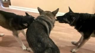 Battle Royal - Two German Shepherd Vs Siberian Husky