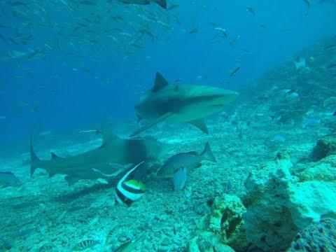 Best Shark Dive - Barefoot Kuata Island, Fiji
