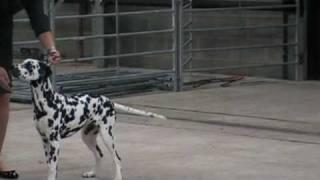 Dalmatian - Jabbawock The Jezebel Showing At Welsh Kennel Club