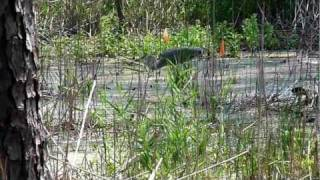 Blackwater National Wildlife Refuge, Maryland, USA
