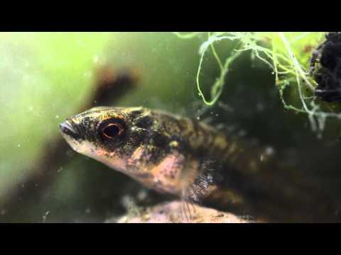 9/10 Spined Stickleback (Pungitius Pungitius) Underwater UK