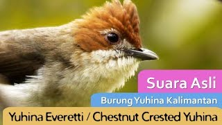 Burung Yuhina Kalimantan/Prenjak Batu Cerecetannya Mirip Gereja Tarung (Audio Masteran Burung)