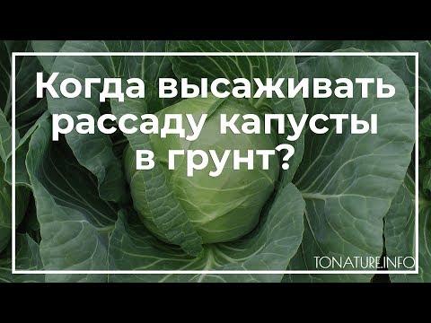 Когда высаживать рассаду капусты в грунт? | toNature.Info