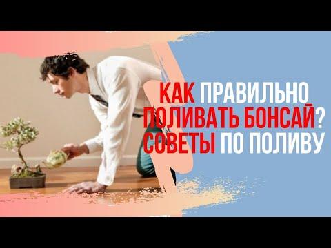 Как правильно поливать Бонсай (Zelkova Nire и Acer Palmatum)