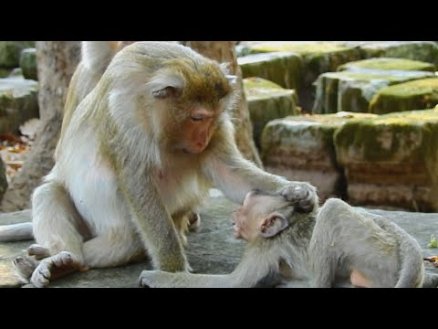 Monkey Briana warning her baby, Now Mom get pregnant nealy born, she was tired and fast angry