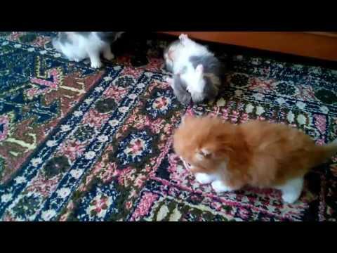 Exotic shorthair kittens Gerdiacats