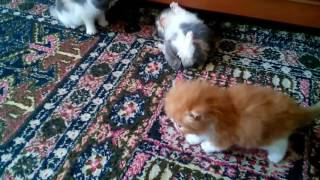 Exotic shorthair kittens Gerdiacats
