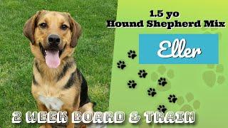 1.5yo Hound & Shepherd Mix (Eller) I Future Service Dog I Board & Train