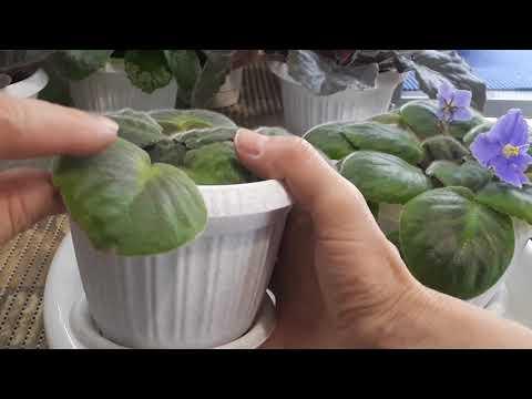 Почему у Фиалок желтеют или краснеют листья? Азот и фосфор в жизни растений.