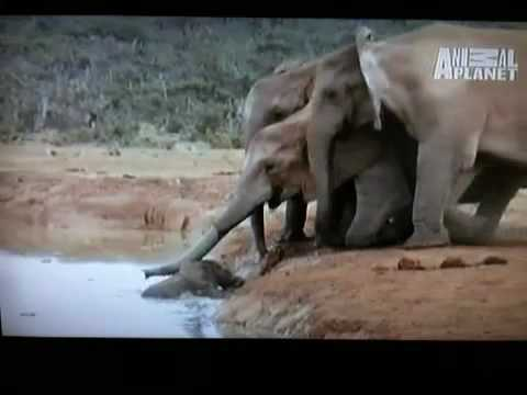 Baby Elephant Rescued By Parents