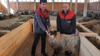 700 ovaca hrani sa zapuštenih njiva