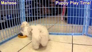Maltese, Puppies, For, Sale, In, Springfield, Missouri, Mo, St  Charles, St  Joseph, O'fallon, Lee's