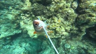 水中銃のわりに獲物はかなり小さいですが、 昼間に伊勢海老を捕まえる映...