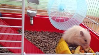 Ангорский хомяк - Royal hamster