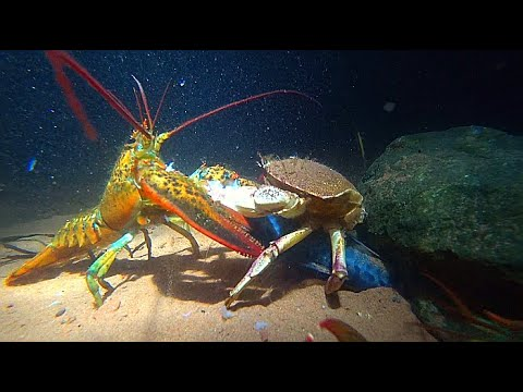 Lobster vs Crab - YouTube