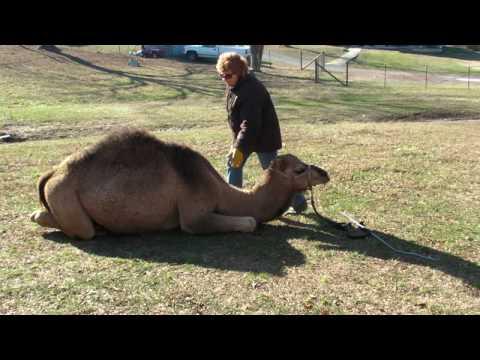 Cush Training a Dromedary Camel