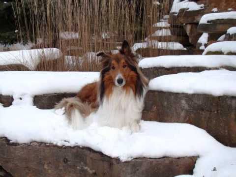 Our Rough Collie Buddy #2