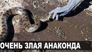 ВЫГУЛ ЗЛОЙ ГИГАНТСКОЙ АНАКОНДЫ. Вес самки удава, укусы змеи
