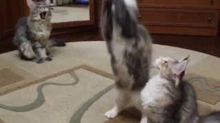 Мейн-кун котята черепашки