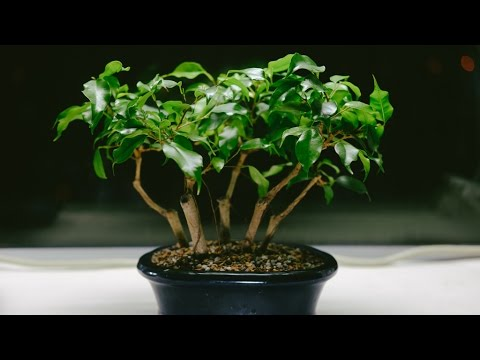 weeping fig ficus benjamina indoor fusion bonsai repot and prune april 2017 youtube. Black Bedroom Furniture Sets. Home Design Ideas