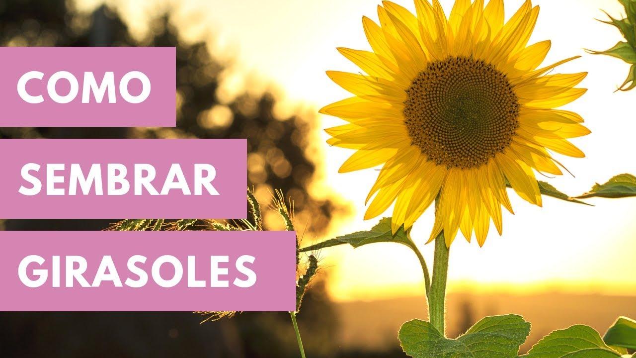 GIRASOL GIGANTE  para PIPAS comestibles  GIANT  SUNFLOWER 50 SEMILLAS SEEDS