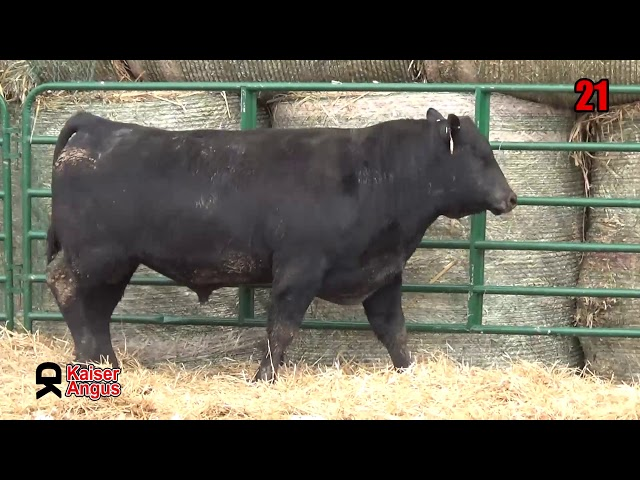 Kaiser Angus Ranch Lot 21