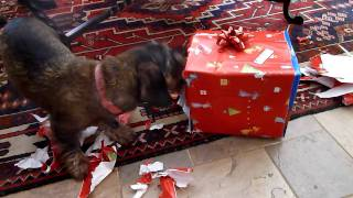 Cute & Funny Dachshund Opening Christmas Gift