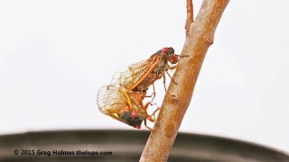 Magicicada tredecim periodical cicada mating sequence