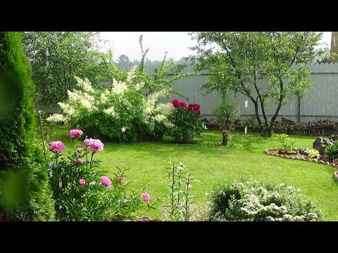 Влог Дача Что и как цветет и растет в июне.О стрижке хвойных.Розы. Обо всем понемногу.Ливень.