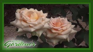 Types Of Roses | Volunteer Gardener