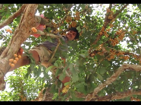 Pick Fruits at Koh Kong Province បេះផ្លែភ្ញៀវ