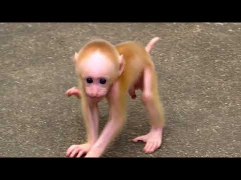 Thumbnail: Baby monkeys playing in China (Tibetan macaques)