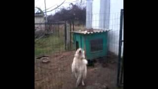 Лайка. Реактивная собака в грязи.
