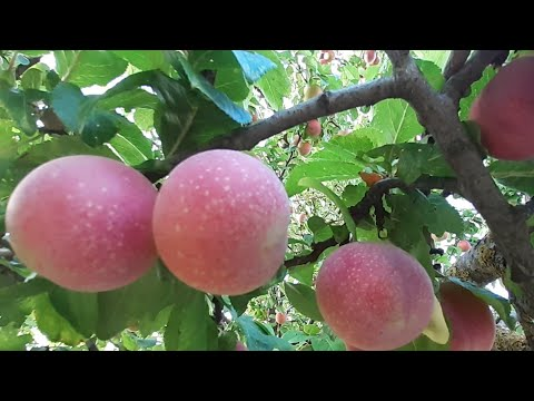 BUHAY BUKID/CYPRUS FRUITS/FRESH FRUIT TREES