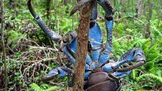 Как поймать кокосового краба?(Как добыть себе еду на необитаемом острове? Установки ловушек на кокосового краба. ВОПРОСЫ ПО ВИДЕО: 1) Крабу..., 2013-11-22T13:41:13.000Z)