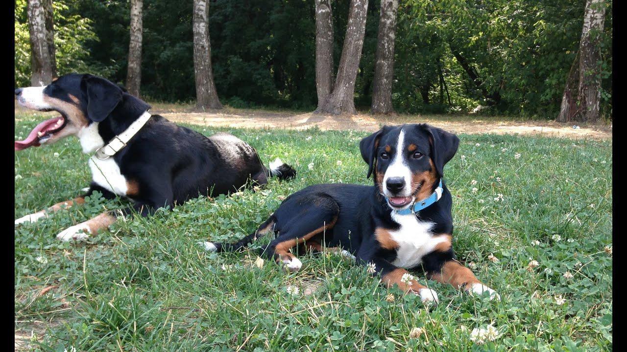 Giselle Von Barenboden Appenzeller Sennenhund 3 To 4 Months Old