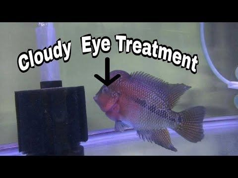 Flowerhorn Cloudy Eye Treatment In Tamil