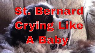 St. Bernard dog crying & talking like a baby for attention