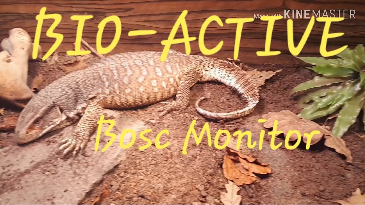 BOSC / SAVANNAH MONITORS BIO ACTIVE ENCLOSURE TOUR