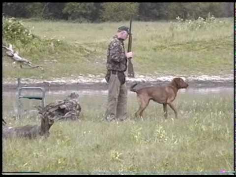Chesapeake Bay Retriever Master Hunt Test