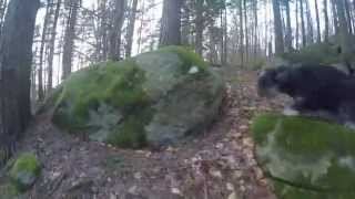 Miniature Schnauzers Playing In The Forest