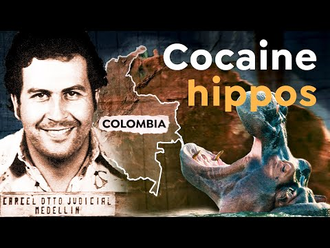 Why Escobar's Hippo Legacy Still Haunts Colombia
