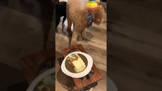 Funny Dog videos- Birthday cake fail !! Joy!!