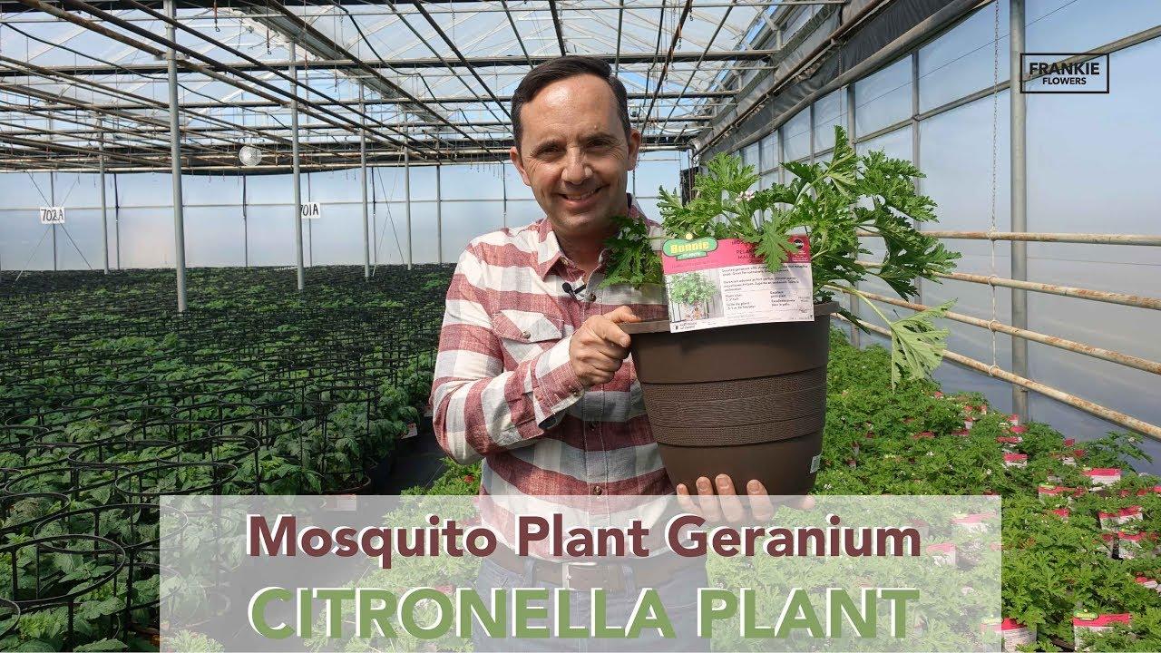Growing Mosquito Plant Citronella Bonnie Plants Canada