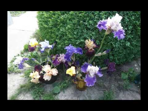 Ирисы-сеянцы. Неожиданные сюрпризы. Iris seedlings