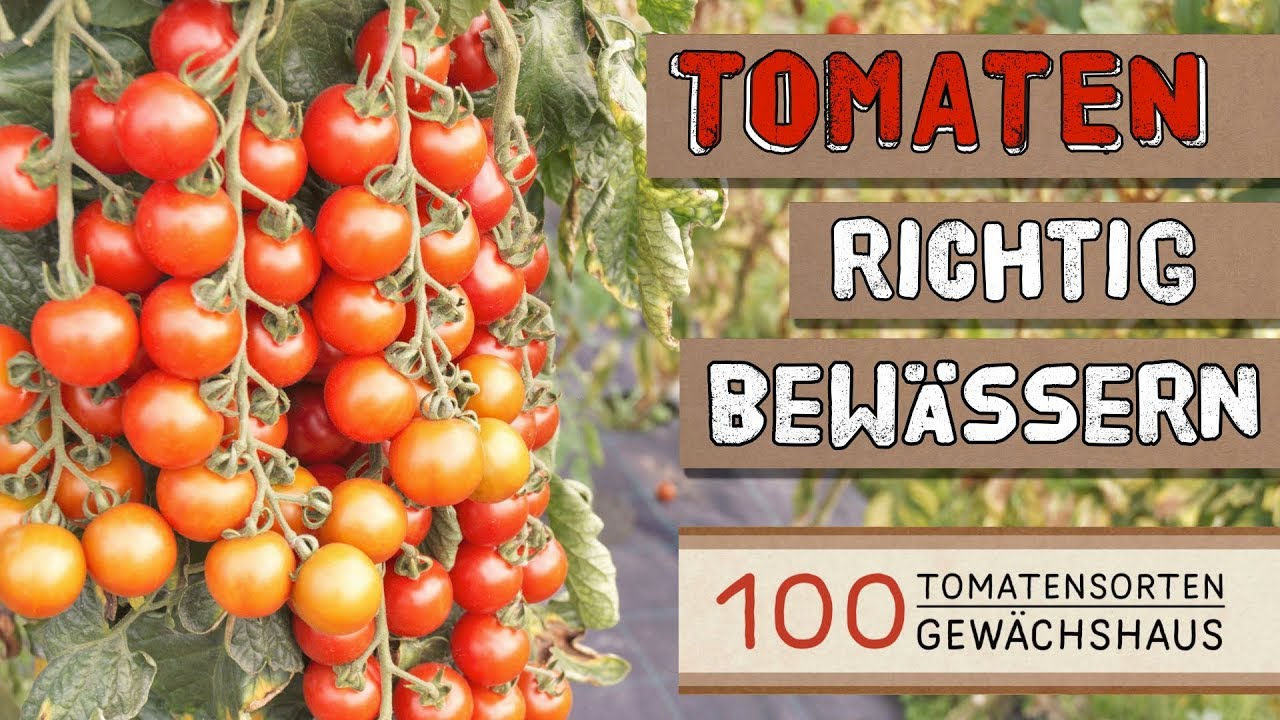 Fabelhaft Tomaten richtig bewässern - 100 Tomatensorten Gewächshaus - YouTube #EP_46